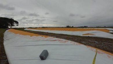 Photo of Entraron a un campo de María Teresa (Sur de la Provincia de Santa Fe) y rompieron 6 silobolsas con 1300 toneladas de maíz.