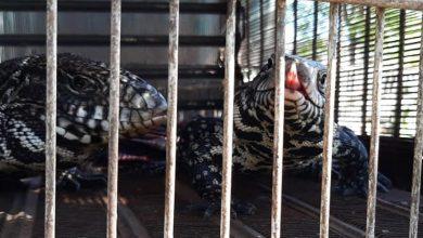 Photo of Rescatan 57 animales silvestres en La Carlota