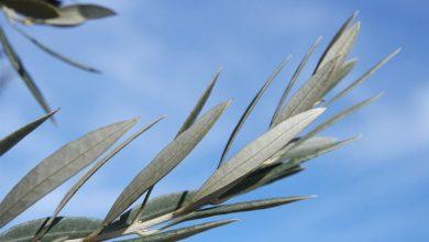 Photo of ¿Para qué quiero un ramito de olivo?