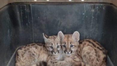 Photo of Ordoñez: Rescataron dos cachorros pumas